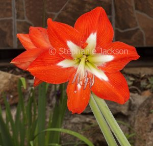 Large vivid orange flower with white centre of Hippeastrum