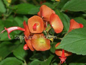 Orange flowers of Holmskioldia sanguinea, Chinaman's Hat Flower / Cup and Saucer Plant, drought tolerant shrub
