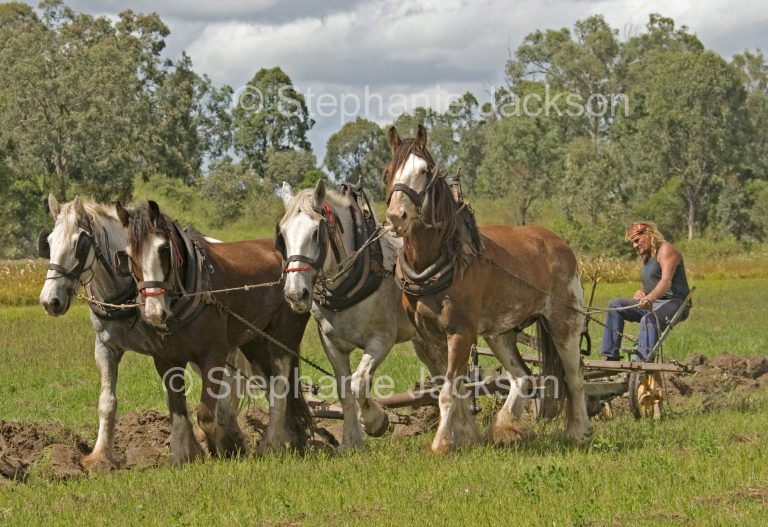 Team of draught horses ploughing a field on a farm in Queensland Australia.