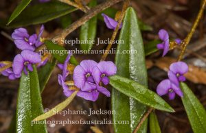 Purple flowers of Hovea acutifolia, a low growing Australian native shrub, in the photographer's garden in Queensland.