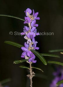 Hovea longifolia, Australian wildflowers in Tuan state forest in Queensland Australia