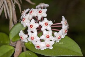 Cluster of white flowers of Hoya carnosa, Wax Flower, a climbing plant, in Queensland Australia.