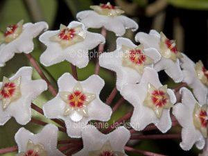Close up of white flowers of Hoya carnosa, Australian native twinging climbing plant, Wax Flower.