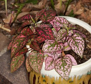 Hypoestes sanguinolenta, Polka Dot Plant, with colourful red, green and pink foliage.