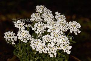 White flowers of Iberis sempervirens x gibraltarica 'Masterpiece' on dark background