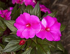 Vivid pink flowers and dark green leaves of New Guinea impatiens, Impatiens hawkerii 'Magnum'