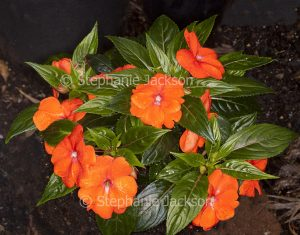 Vivid orange flowers and dark green leaves of New Guinea impatiens Impatiens hawkerii cultivar.