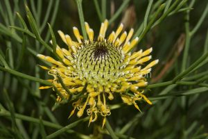 Yellow flower and foliage of Isopogon anethifolius, Narrow-leafed Drumsticks, in NSW Australia