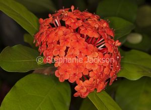 Cluster of bright red / orange Flowers of Ixora chinensis 'Prince of Orange.'