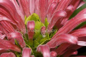 Closeup of pink flower of Justicia carnea, Brazilian Plume Flower / Jacobinia.
