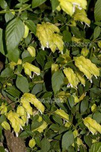Flowers and foliage of Justicia brandegeeana lutea syn. Beloperone guttata, Yellow Shrimp Plant