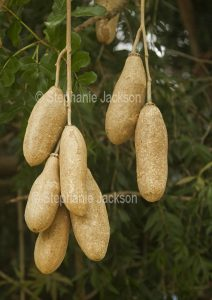 Cluster of huge seed pods of Koelreuteria paniculata - Sausage Tree