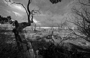 Black and white / monochrome photo of Kow Swamp, near the Victorian town of Gunbower.