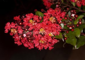 Deep red flowers of Lagerstroemia fauriei x indica 'Coral Magic', deciduous tree, Crepe Myrtle / Pride of India on dark background