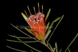 Red flower of Lambertia formosa, Mountain Devil at Morton National Park in NSW in Australia.