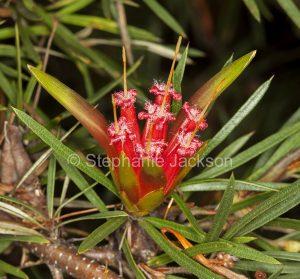 Lambertia formosa, Mountain Devil at Noosa Botanic Gardens inQueensland Australia.