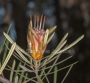 Flower of Lambertia formosa, Mountain Devil at Morton National Park in NSW in Australia.