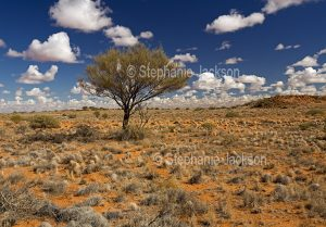 Solitary mulga / acacia tree on red outback plains under blue sky in Northern Territory, Australia