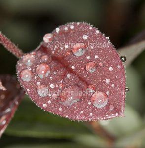 Red Leaf of Loropetalum chinensis var. rubrum 'China Pink' - with raindrops, on dark background