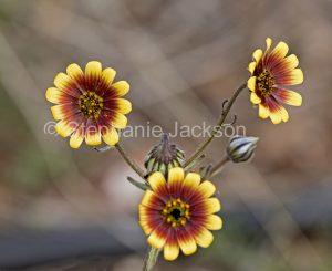 Yellow and red flowers of Leiocarpa semicalva ssp semicalva in outback Queensland Australia.