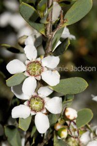 White Flowers of Leptospermum laevigatum, an Australian native plant, a Tea Tree