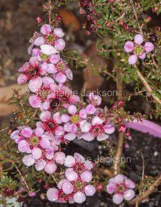 Pink flowers of Leptosepermum 'Alicia Rose' , a tea tree cultivar, Leptospermum scoparium nana x L. rotundifolium 'Jarvis Bay'.