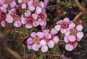 Pink flowers of Leptospermum scoparium nana x L. rotundifolium 'Jarvis Bay', Tea Tree, Alicia Rose. with raindrops on petals