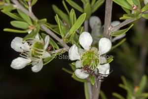 Leptospermum tea tree flowers with ant feeding on nectar in coastal wallum bushand in Queensland Australia
