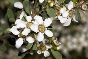 Flowers of Leptospermum laevigatum, Tea Tree, on coastal dunes in NSW Australia.