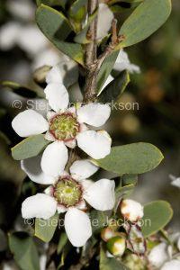 Flowers of Leptospermum laevigatum, Tea Tree, in NSW Australia.