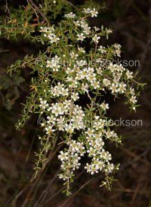 White flowers of Leptospermum liversidgei, olive tea tree, Queensland Australia.