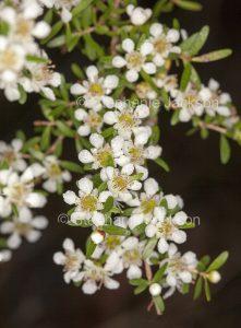 White flowers of Leptospermum liversidgei, Olive Tea Tree, in Queensland Australia.