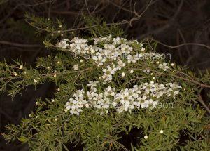 Cluster of white flowers and foliage of tea tree, Leptospermum polygalifolium