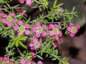 Pink and white flowers and green leaves of Leptospermum 'Tickled Pink', an Australian native plant, a Tea Tree