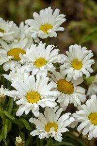 Cluster of white flowers of Leucanthemum 'Daisy May', Shasta Daisies.