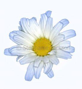 Pale blue / white flower of Leucanthemun 'Daisy May', Shasta Daisy, on a white background