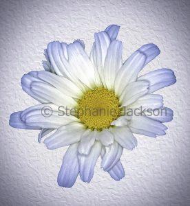 White flower of Leucanthemun 'Daisy May', Shasta Daisy, on a white embossed background