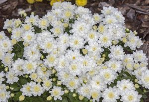 Cluster of double white daisies