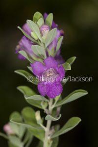 Flowers of Leucophylla frutescens 'Lavender Lights', an evergreen drought tolerant shrub.