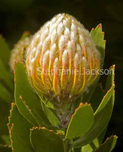 Stunning orange and white flower and green leaves of Leucospermum conocarpodendron x glabrum 'Mardi Gras Ribbons', Proteaceae, on black background