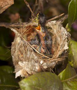 Two Lewin's honeyeater chicks, Meliphaga lewinii, in a nest in a garden in Queensland Australia