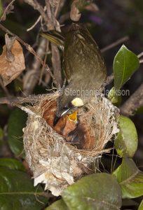 Lewin's honeyeater, Meliphaga lewinii, with chick in nest in a garden in Queensland Australia