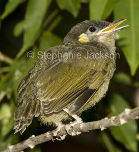 Two Lewin's honeyeater fledgling, Meliphaga lewinii with one with bill wide a garden pleading for food, in Queensland Australia