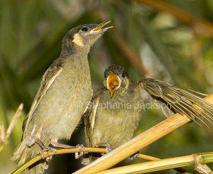 Two Lewin's honeyeater fledglings,, Meliphaga lewinii bills wide open pleading for food, in Queensland Australia