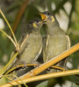 Two Lewin's honeyeater fledglings,, Meliphaga lewinii , one with bill wide open pleading for food, in Queensland Australia