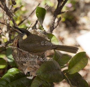 Lewin's honeyeater, Meliphaga lewinii sitting on her nest in a garden shrub in Queensland Australia