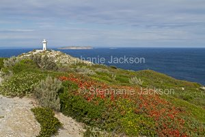 Cape Spencer lighthouse in Innes National Park on Yorke Peninsula South Australia, with wildflowers, flowers of Templetonia retusa