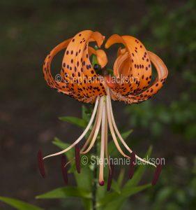 Unusual orange flower with brown spots -Tiger Lily, Lilium tigrinum on dark green background