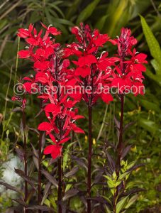 Vivid red flowers and drk red leaves of perennial plant Lobelia x speciosa 'Starship'