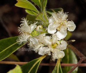 White flowers of Lophostemon confertus syn Tristania conferta, Brush Box Tree, in Queensland Australia.